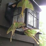  Luna moths on our porch light. Beautiful!