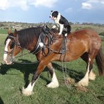 Ruby our Border Collie Dog riding Bella our Clydesdale Horse
