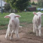  Healthy pet lambs