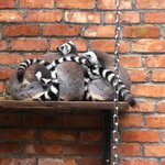  Lemurs huddled together