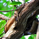 Cook's Tree Boa siesta