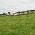 sheep on farm at front of lurgan house