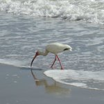  white ibis on the beach steps from the hotel