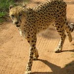  Wild Cheetah at De Wildt
