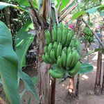 Banana trees on the property