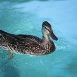 Gertrud, the duck