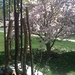 Our Lovely Magnolia tree in Spring