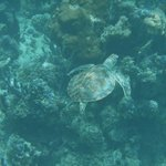  Green sea turtle snorkeling in front of Windsong