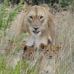 A lioness and her 3 cubs at Pinda reserve.