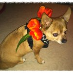  Fake tulips on Jacks collar...in Chicago...but still accosted and accused of cutting real tulips