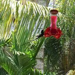 Black hummingbird feeding during lunch.