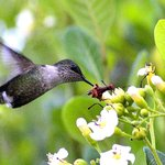 Bee Humming Bird