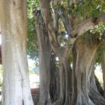 This banyan tree was standing right next to my deck.