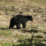  California black bear...not always available