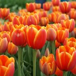  Tulips-1