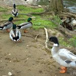 ducks by the river