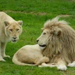  Lions blanc parc des flins
