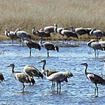  Sand Hill Cranes