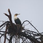  Naivasha - Cormorant