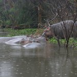  Naivasha - Hippos, scary being near them