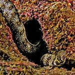 Spotted Eel on the reef at Coiba taken by Chrisse Harwonko