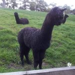 Alpacas on the hill next to the hotel gardens.