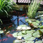  brightly coloured koi in the garden pond at Harvest House