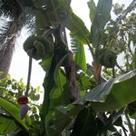 banana trees grown on property