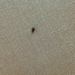  Live bedbug on bed headboard
