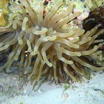 anenome in the reef off of the beach