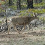  Mule deer