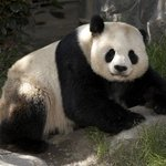  Hello Mr. Panda!  We Love the San Diego Zoo
