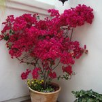 Beautiful bougainvillea plant on the property