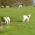  Spring Lambs (but not on the menu!)