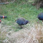 A family of takahe