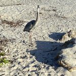 Heron hanging out at Gulf Sands