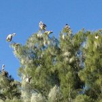 Pelicans in the tree