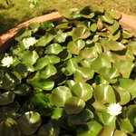  Small Lotus pond next to our Apartment