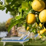  The hotel grounds, stocked with lemons