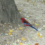 Fat Rosella has had a good summer