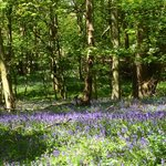  Bluebells at ashridge 12 may 2013