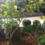 Our own lemon tree!