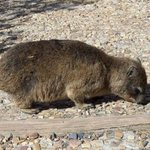  Dassie on footpath near Cape Point