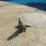  Resident Iguana by the pool