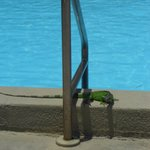  A friendly iguana by the pool
