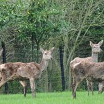  Deer in the grounds of Ballinwillin House