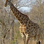 One of many giraffes