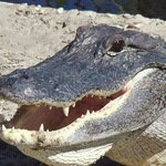 alligator close to national park boat tours thank u paul!