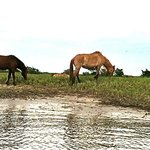 Wild Horse of Carrot Island from the Waterbug
