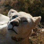 Close encounter with a White Lioness